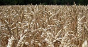 blé cultivé