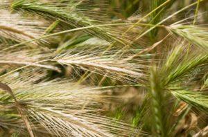 blé sauvage